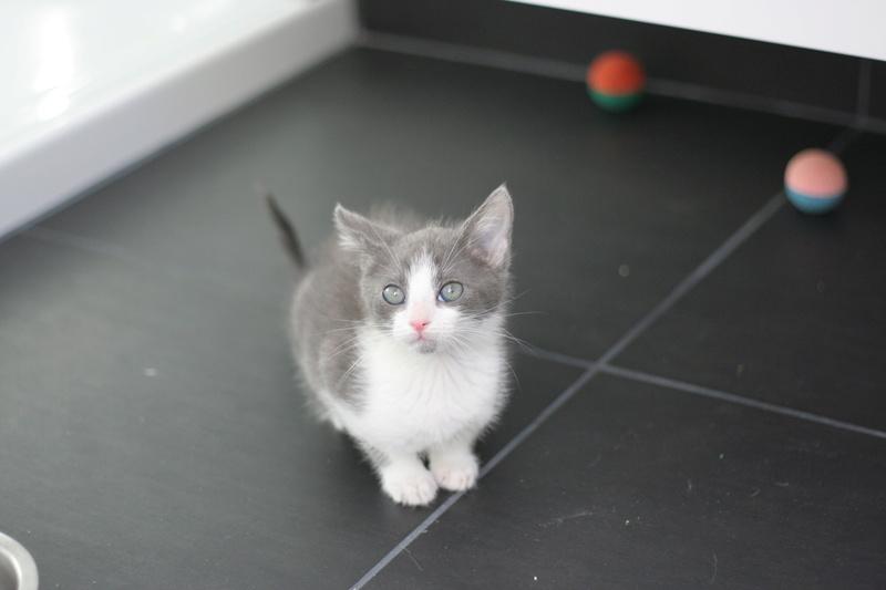nakao - NAKAO, chaton gris et blanc, né le 08/09/17 Img_0320