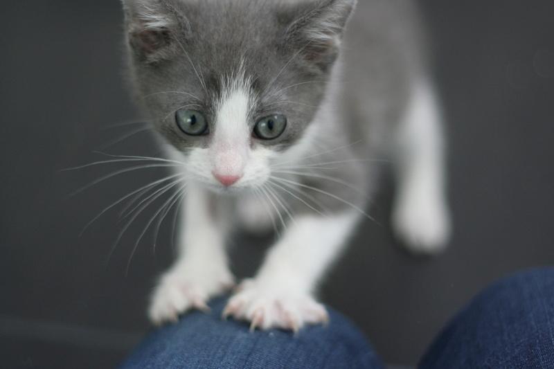 nakao - NAKAO, chaton gris et blanc, né le 08/09/17 Img_0323