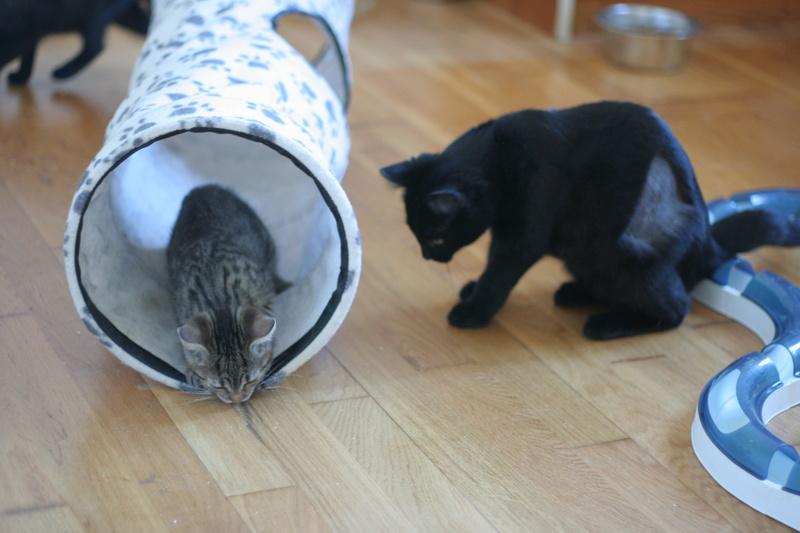 NYSSA, chatonne noire, née le 25/05/17 Img_0427