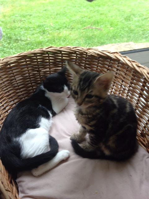 neary - Neary, chatonne noire et blanche née le 12/06/17 Img_0611