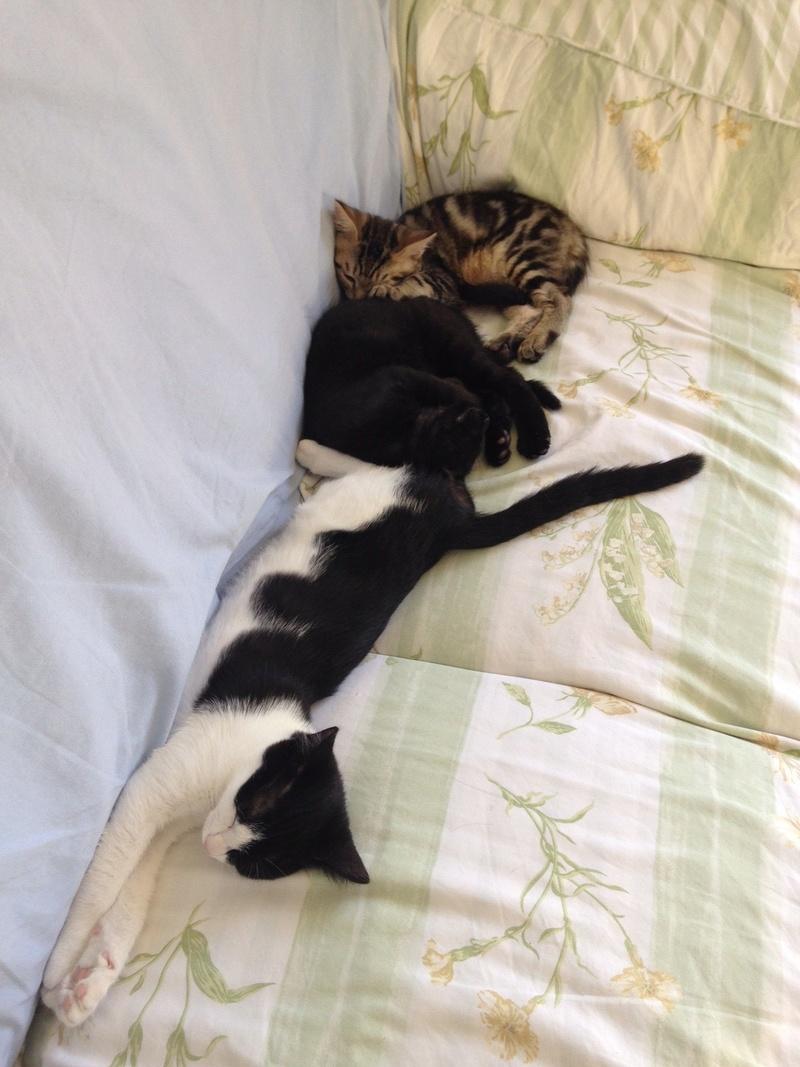 neary - Neary, chatonne noire et blanche née le 12/06/17 Img_0813