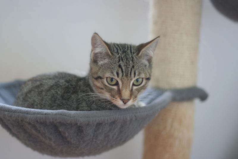 niro - NIRO, chaton mâle tigré, né le 22/05/17 Img_9618