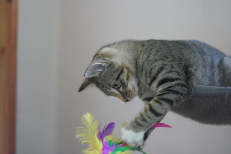 niro - NIRO, chaton mâle tigré, né le 22/05/17 Img_9710