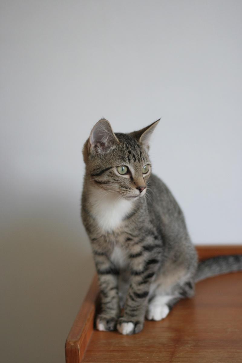 NIKEL, chat mâle tigré, né le 22 mai 2017 Img_9717