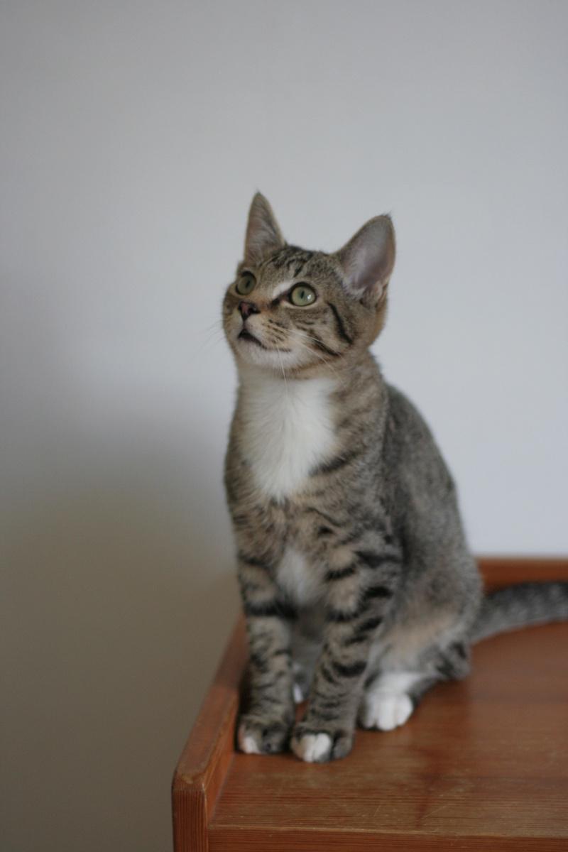 NIKEL, chat mâle tigré, né le 22 mai 2017 Img_9718