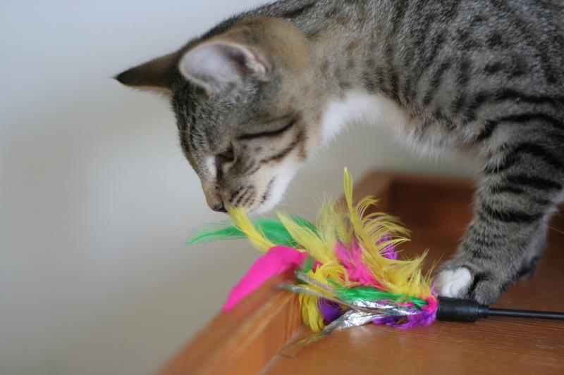 NIKEL, chat mâle tigré, né le 22 mai 2017 Img_9721