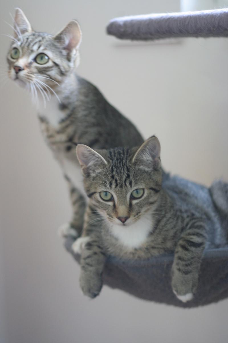NIKEL, chat mâle tigré, né le 22 mai 2017 Img_9722