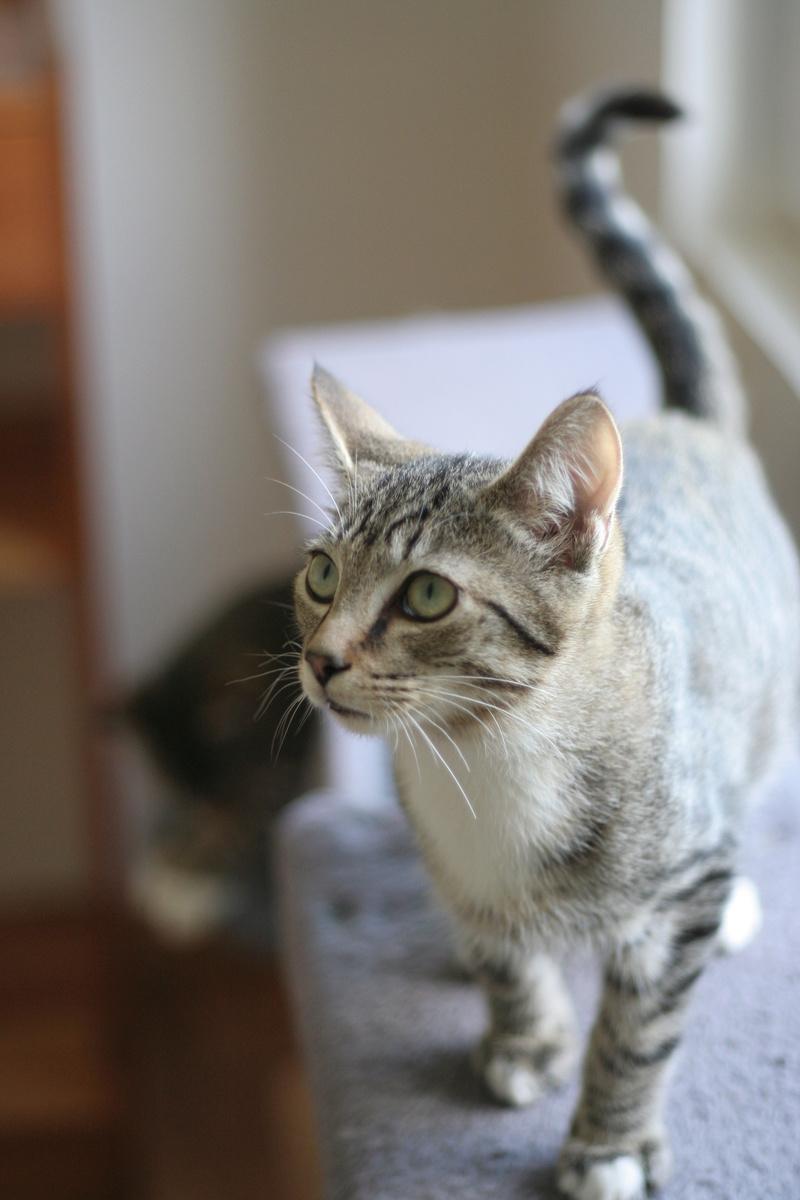 NIKEL, chat mâle tigré, né le 22 mai 2017 Img_9723