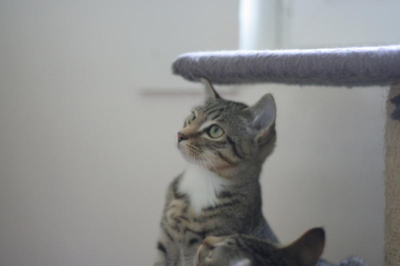 niro - NIRO, chaton mâle tigré, né le 22/05/17 Img_9725
