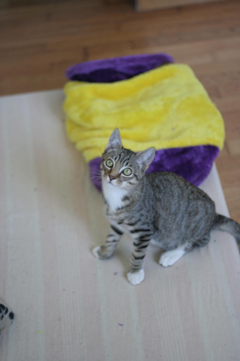niro - NIRO, chaton mâle tigré, né le 22/05/17 Img_9810