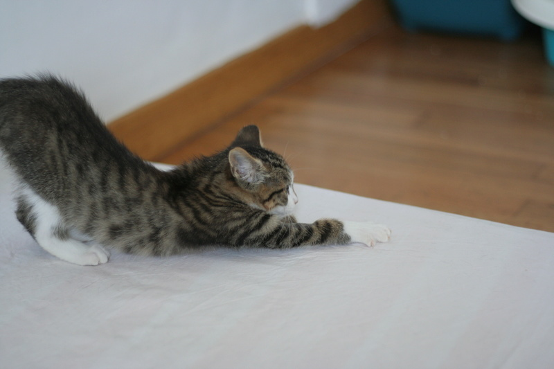 NEILA, chatonne brown tabby et blanche, née le 16/08/17 Img_9833