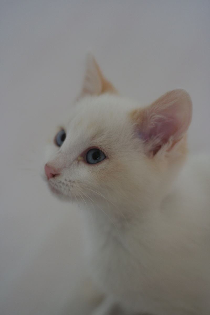 NIPPON, chaton mâle red point, né le 16/08/2017 Img_9922