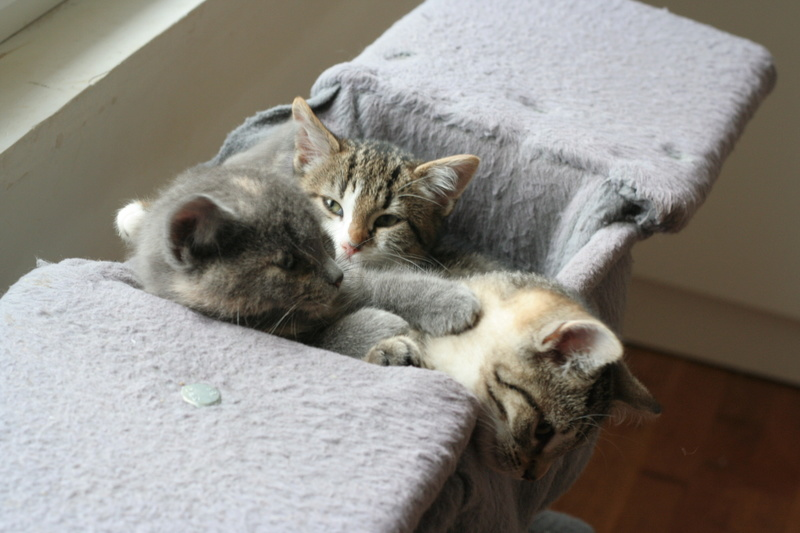 NEILA, chatonne brown tabby et blanche, née le 16/08/17 Img_9928
