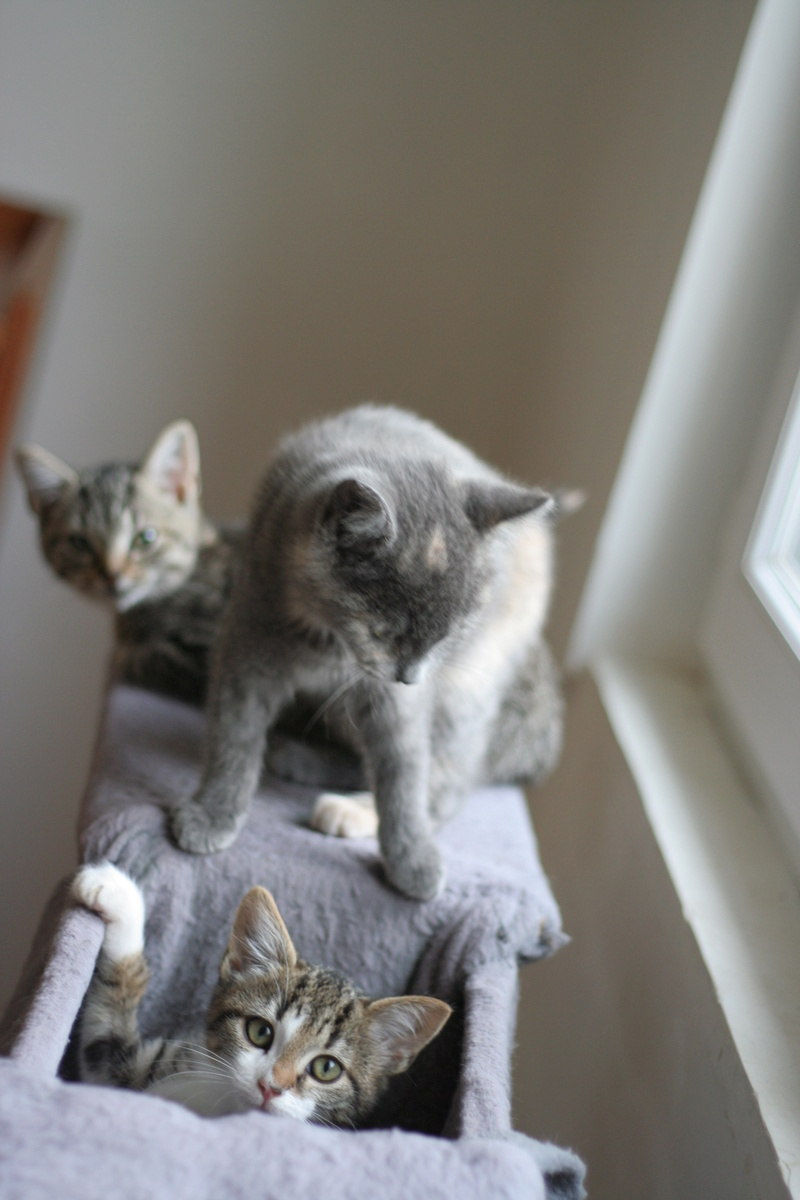 NEILA, chatonne brown tabby et blanche, née le 16/08/17 Img_9930