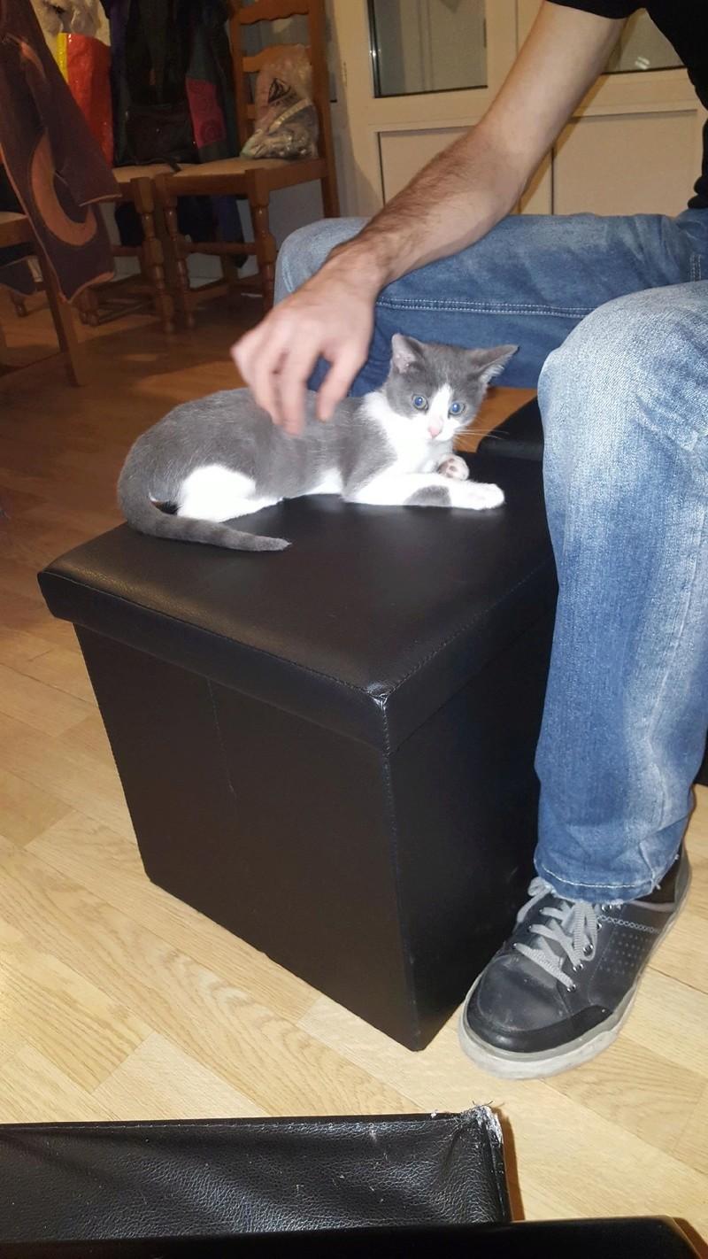 nakao - NAKAO, chaton gris et blanc, né le 08/09/17 Leo_na10