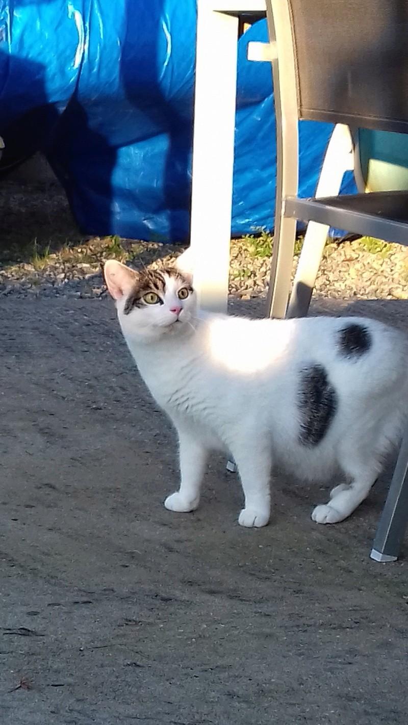 Napoléon, chaton européen blanc et tigré, né le 14/02/2017 - Page 2 Napole13