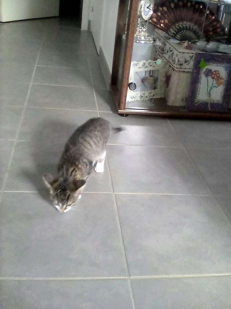 NEILA, chatonne brown tabby et blanche, née le 16/08/17 Neila_10