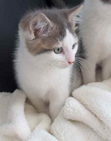 nikon - NIKON, chaton blanc et gris crème, né le 10/09/17 Nikon_12
