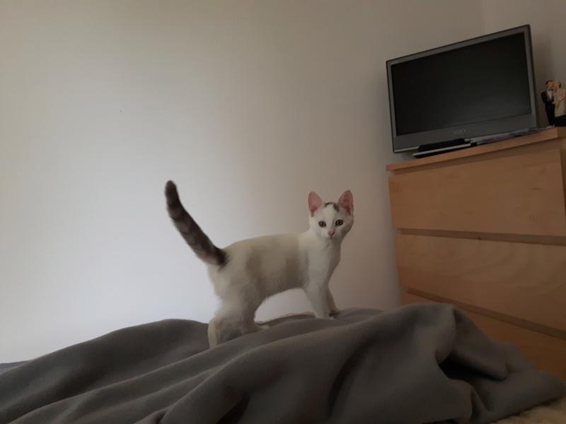 Nyzia, femelle européenne blanche et taby, née le 1er aout 2017 Nizia511