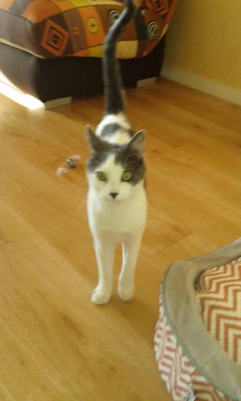 nolo - NOLO, chaton européen gris & blanc, né le 15/08/17 Nolo_511