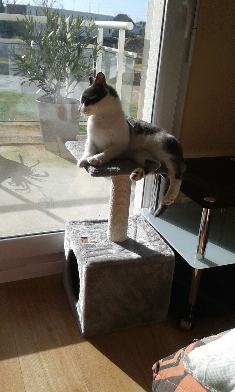 nolo - NOLO, chaton européen gris & blanc, né le 15/08/17 Nolo_513