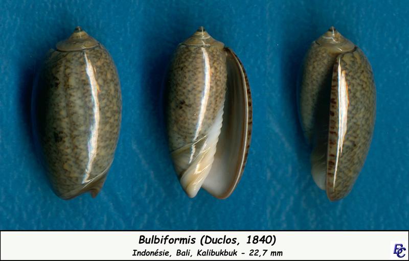 Carmione bulbiformis (Duclos, 1840) - Worms = Oliva bulbiformis Duclos, 1840 Bulbif10
