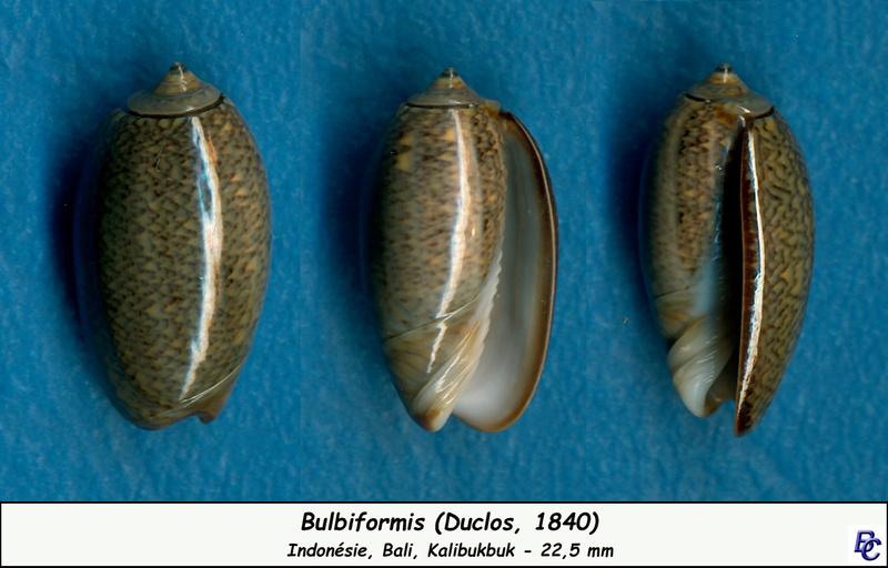 Carmione bulbiformis (Duclos, 1840) - Worms = Oliva bulbiformis Duclos, 1840 Bulbif11