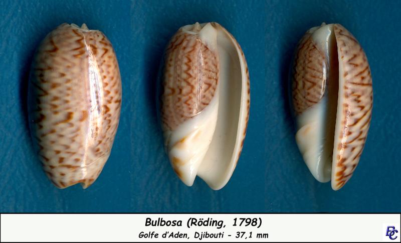 Carmione bulbosa (Röding, 1798) - Page 5 Bulbos10