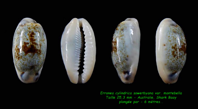 Erronea cylindrica sowerbyana var. montebella Cylind10