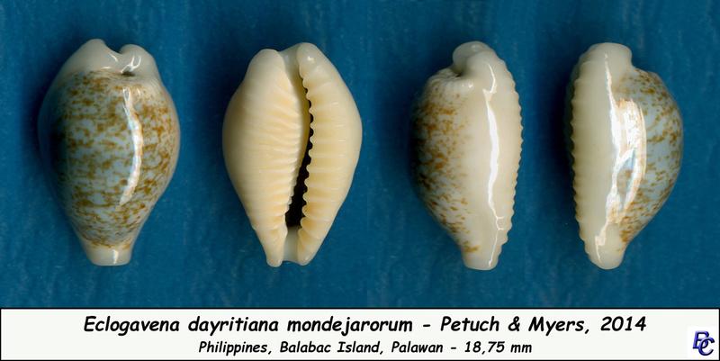 Eclogavena dayritiana mondejarorum - Petuch & R. F. Myers, 2014 Dayrit10