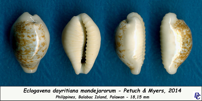 Eclogavena dayritiana mondejarorum - Petuch & R. F. Myers, 2014 Dayrit11