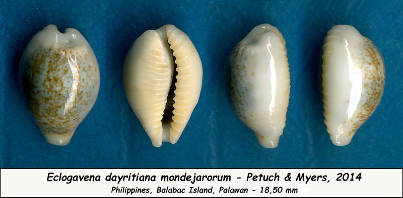 Eclogavena dayritiana mondejarorum - Petuch & R. F. Myers, 2014 Dayrit12