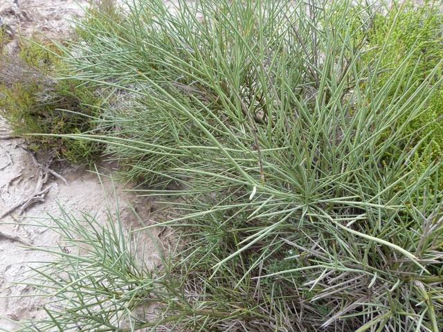 Retama (Prosopis sericantha-Flora de Santiago del Estero ) 38036410