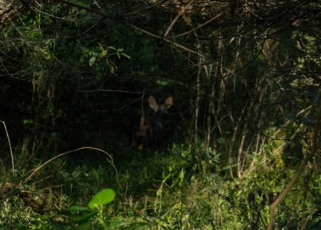 Corzuela parda (Mazama gouazoubira) Dsc_0013