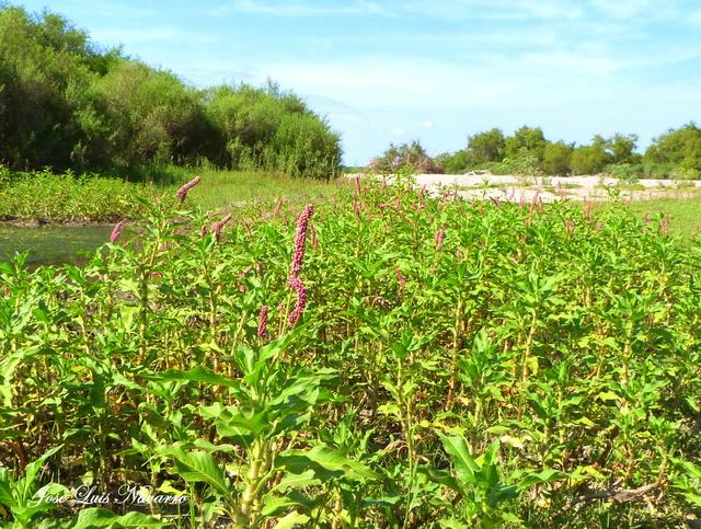 La persicaria  o Cresta de gallo (Polygonum persicaria) P1450013