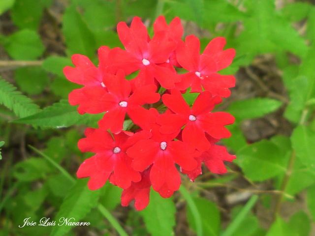 Margarita roja (Glandularia peruviana) P1470517