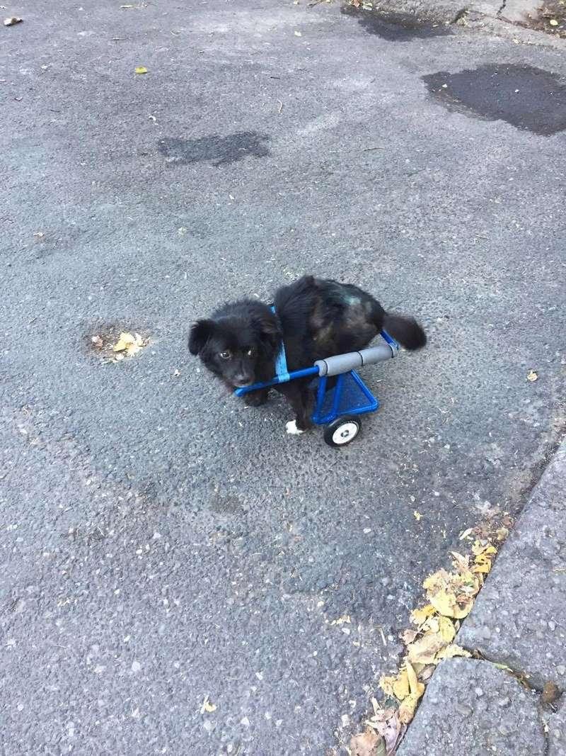 KIRIKOU (ex ALOUP) -  petit chien mâle grièvement blessé et paralysé, né environ août 2012 - EN CLINIQUE A BUCAREST (Mircea) - Adopté par Gaëlle (Belgique) - Page 4 23224710