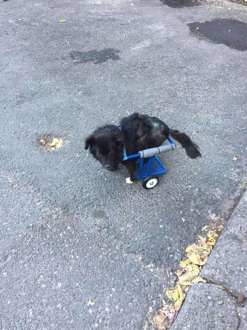 KIRIKOU (ex ALOUP) -  petit chien mâle grièvement blessé et paralysé, né environ août 2012 - EN CLINIQUE A BUCAREST (Mircea) - Adopté par Gaëlle (Belgique) - Page 4 23261810