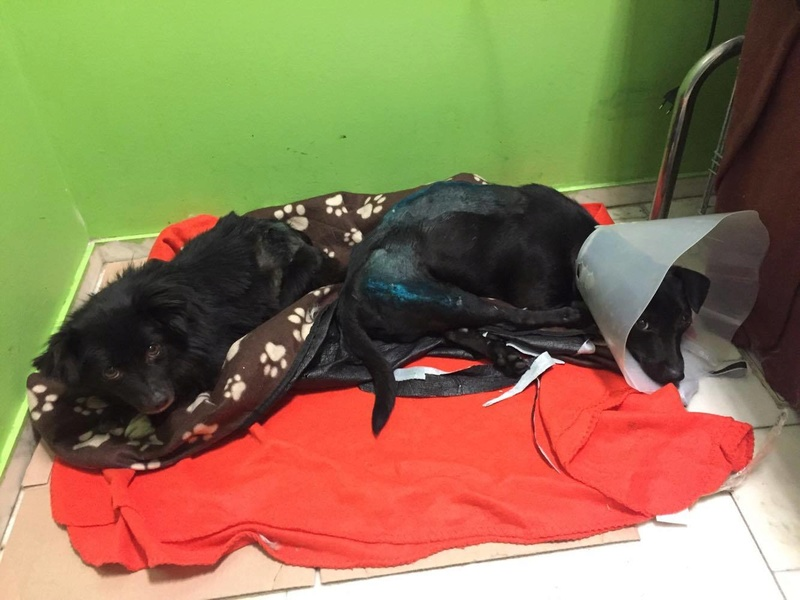 KIRIKOU (ex ALOUP) -  petit chien mâle grièvement blessé et paralysé, né environ août 2012 - EN CLINIQUE A BUCAREST (Mircea) - Adopté par Gaëlle (Belgique) - Page 4 23313010
