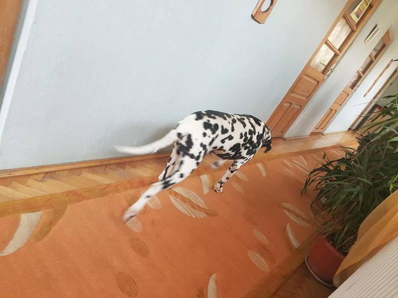 ARCHIE - magnifique mâle Dalmatien LOF de taille moyenne, né en juin 2007. Adopté par  Gisèle (depart57) - DECEDE 24323910