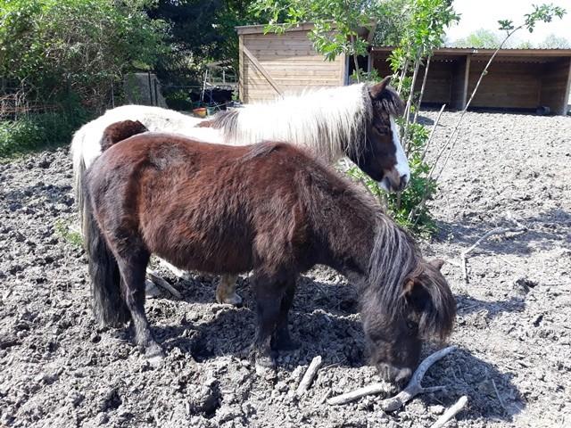 VAVAVROUM (2010) et APACHE(2009) - ONC poneys type Shetland - adoptés en mars 2019 par Sylvie 2018_301