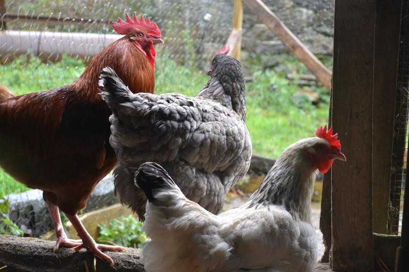 Covoiturage pour 2 poules  - Page 2 Dsc_0210