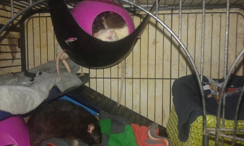 Mes cages à ratous  20180394