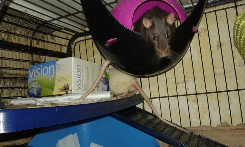Mes cages à ratous  20180472