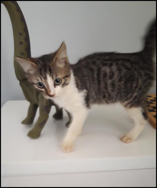 NEM chaton à l'adoption 20171014
