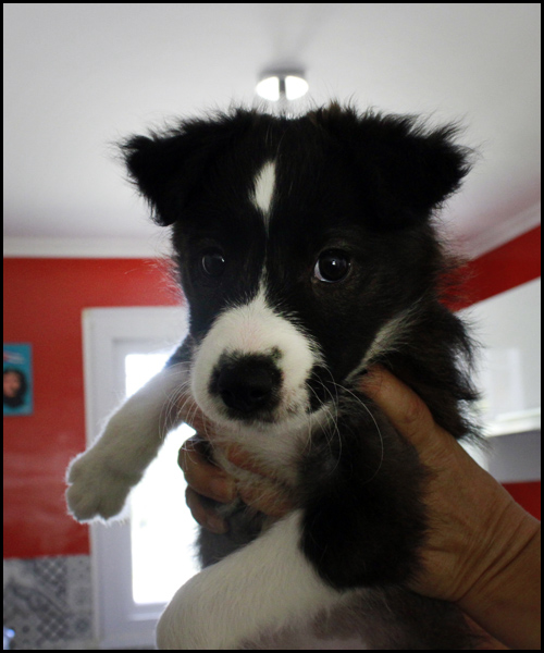ORPHEE chiot 2 mois à l'adoption _mg_8611