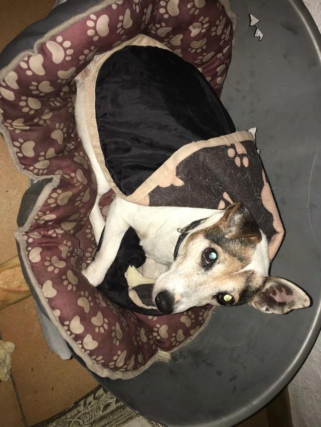 NOUBI jack terrier Img_0310