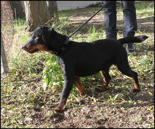 NAT Jagd Terrier Img_7415