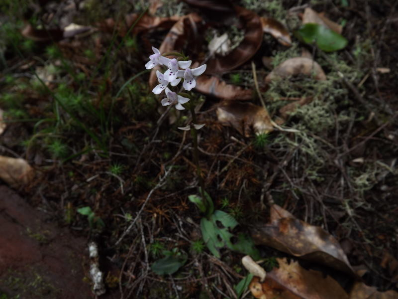 Angraecum bracteosum Cynork21