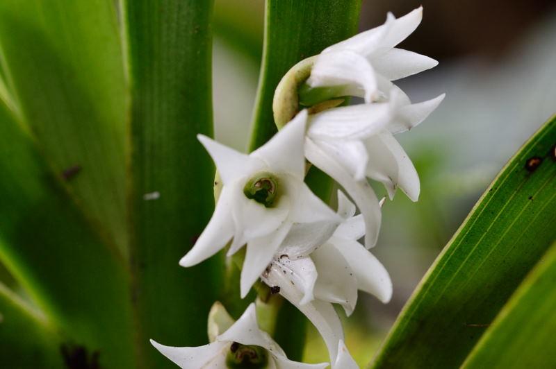 Angraecum bracteosum Dsc_1810